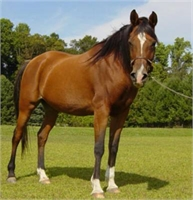 Arabian Horse - This is a Sample Listing